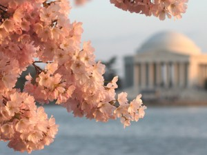 Celebrate Spring at the Cherry Blossom Festival